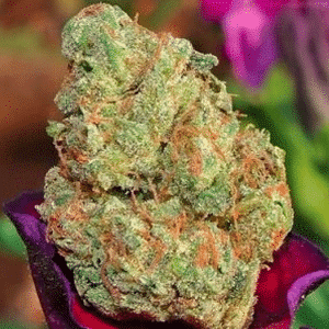 God's gift strain of cannabis, known for its excellent soporific effects. Photo courtesy of cannabismaven.io.